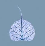 X-Ray leaf 1 by Erin Rafferty