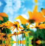 Sunflowers by Erin Rafferty