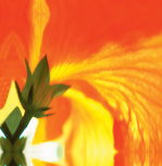 Sunburst Bloom by Erin Rafferty