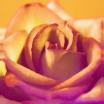 Ochre Rose by Erin Rafferty