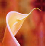 Calla Lily by Erin Rafferty