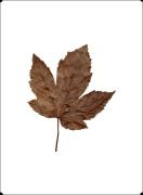 Autumn Leaf I by Erin Rafferty
