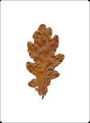 Autumn Leaf II by Erin Rafferty