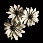 Three Black-Eyed Susans by Michael Harrison