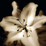 Lily Glow IV by Malcolm Sanders