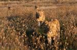 Lion pride (Panthera leo), Savute Channel, Linyanti, Botswana by Sergio Pitamitz