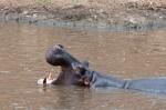 Hippopotamus (Hippopotamus amphibius), Masai Mara, Kenya by Sergio Pitamitz