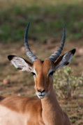 Impala (Aepyceros melampus), Samburu National Park, Kenya by Sergio Pitamitz