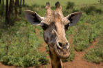 Rothschild Giraffe, Giraffe Center, Nairobi, Kenya by Sergio Pitamitz