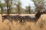 Zebra, Meru National Park, Kenya by Sergio Pitamitz