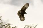 Long Crested Eagle, Meru National Park, Kenya by Sergio Pitamitz
