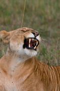 Lioness (Panthera leo), Masai Mara National Reserve, Kenya by Sergio Pitamitz