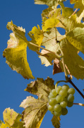 Vineyards, Santa Maddalena, Val di Funes, Bolzano, Trentino - Alto Adige, Italy by Sergio Pitamitz