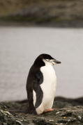 Chinstrap Penguin, Aitcho Island, South Shetland Islands, Antarctica by Sergio Pitamitz