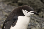 Chinstrap Penguin, Aitcho Island, South Shetland Islands, Antarctica by Sergio Pitamitz