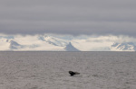 Whale near Livingston Island, South Shetland Islands, Antartctica by Sergio Pitamitz