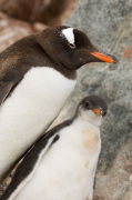 Gentoo Penguins, Petermann Island, Lemaire Channel, Antarctica by Sergio Pitamitz