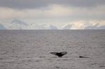 Whale near Livingston Island, South Shetland Islands, Antarctica by Sergio Pitamitz