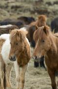 Icelandic horses, Skagafjorour Fjord, Iceland by Sergio Pitamitz