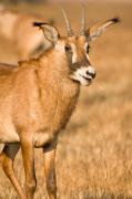 Roan Antelope, Busanga Plains, Kafue National Park, Zambia by Sergio Pitamitz