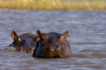 Hippopotamus (Hippopotamus Amphibius), Busanga Plains, Kafue National Park, Zambia by Sergio Pitamitz