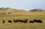 Bison Herd Custer State Park, Black Hills, South Dakota, USA by Sergio Pitamitz