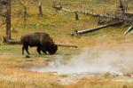 Bison, Yellowstone National Park, Wyoming, USA by Sergio Pitamitz