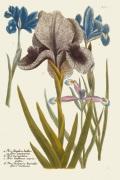 Iris Resplendant IV by Joseph Weinmann
