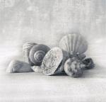 Still Life of Shells I by Ian Winstanley
