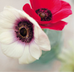 Red and White Anemones by Ian Winstanley