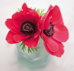 Red Anemones by Ian Winstanley