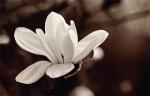 Magnolia by John Hartl