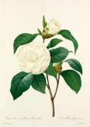 Camellia (var) fleurs blanches: Camellia Japonica