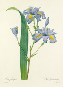Iris frangée : Iris fimbriata by Pierre Joseph Celestin Redouté
