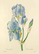 Iris pale : Iris pallida