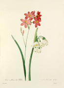1. Ixia à fleurs de Phlox, 2. Niveole d'été by Pierre Joseph Celestin Redouté