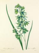 Ixiaà fleurs vertes : Ixia viridiflora by Pierre Joseph Celestin Redouté