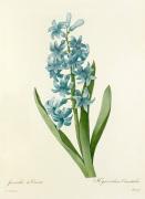 Jacinthe d'Orient : Hyacinthus orientalis