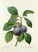 Prune Royale : Prunus domestica by Pierre Joseph Celestin Redouté