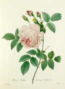 Rosa Indica : Grande Indienne