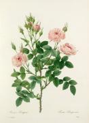 Rosier Pompon : Rosa Pomponia by Pierre Joseph Celestin Redouté