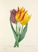 Tulipe de Gesner : Tulipa Gesneriana