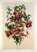 Fuchsia hybride by P de Pannemaeker