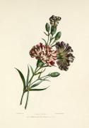 Carnations by Charles Joseph Hullmandel