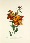 Wall Flower by Charles Joseph Hullmandel