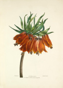 Imperial Lily by Charles Joseph Hullmandel