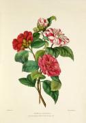 Camellia japonica by Charles Joseph Hullmandel