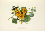 Nasturtium & Heartsease by Charles Joseph Hullmandel