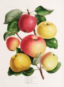 Plate VI by Elizabeth Ronalds