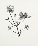 Rhododendron dauricum by Graham Stuart Thomas